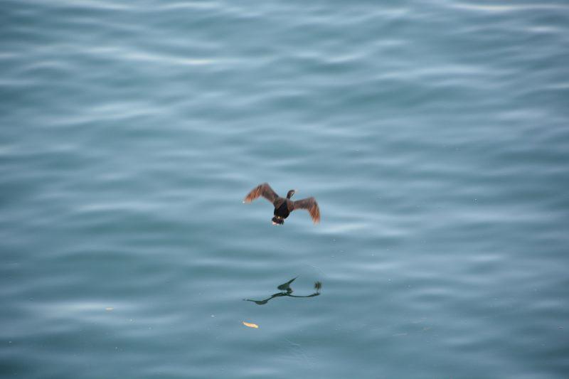 A flying shag (Takaka 2013)