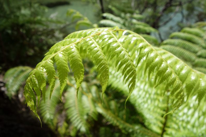 Another another fern (Takaka 2013)