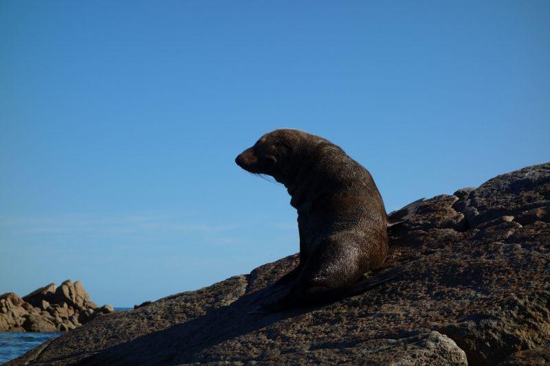 Mr seal 2 (Takaka 2013)