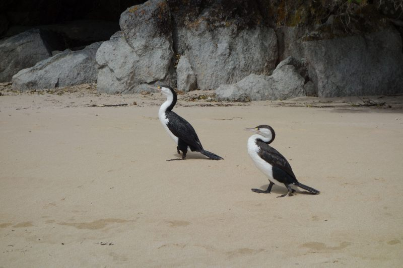 Only two shags now (Takaka 2013)