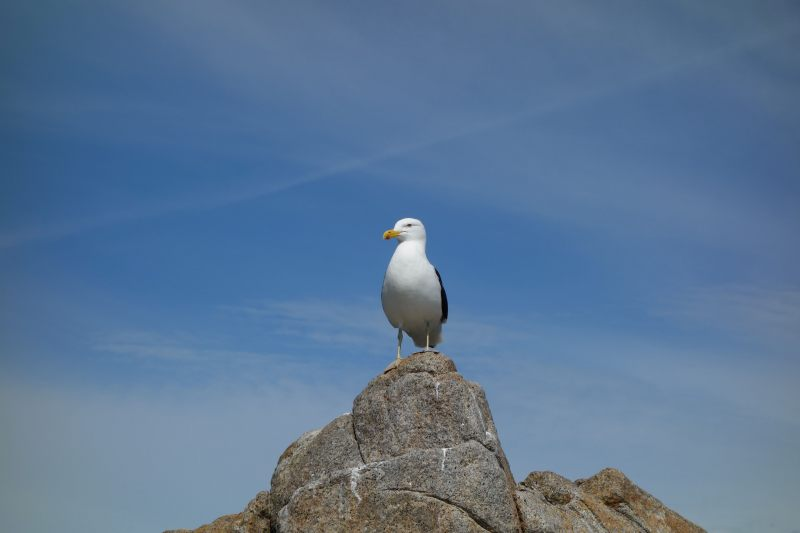 Seagull on the rock (Takaka 2013)