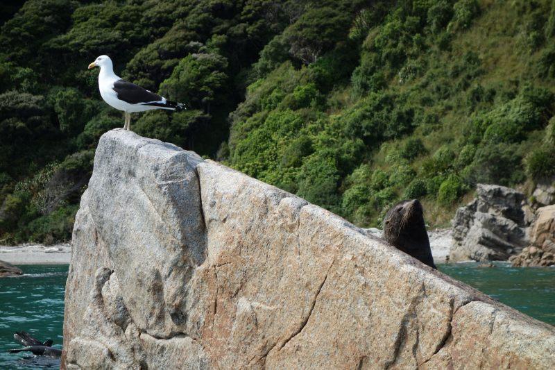 Seagulls and seal 2 (Takaka 2013)