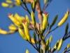 Flax flowers (Takaka 2013)