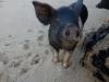 Mrs Pig 2 (Takaka 2013)