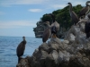 Shags on the rock 2 (Takaka 2013)