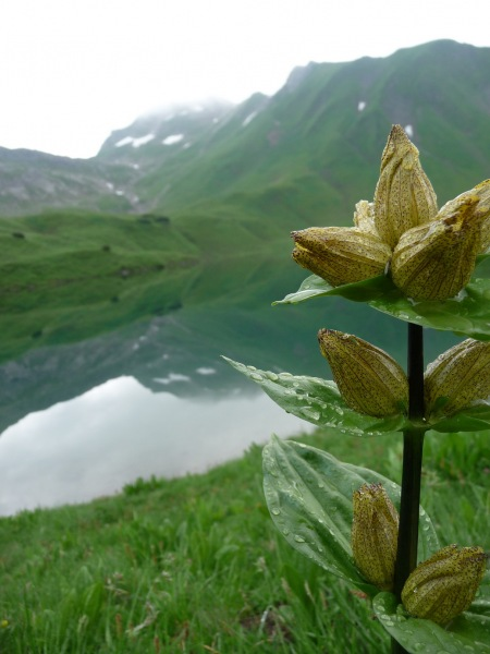 A flower (Tramping Schrecksee, Germany)