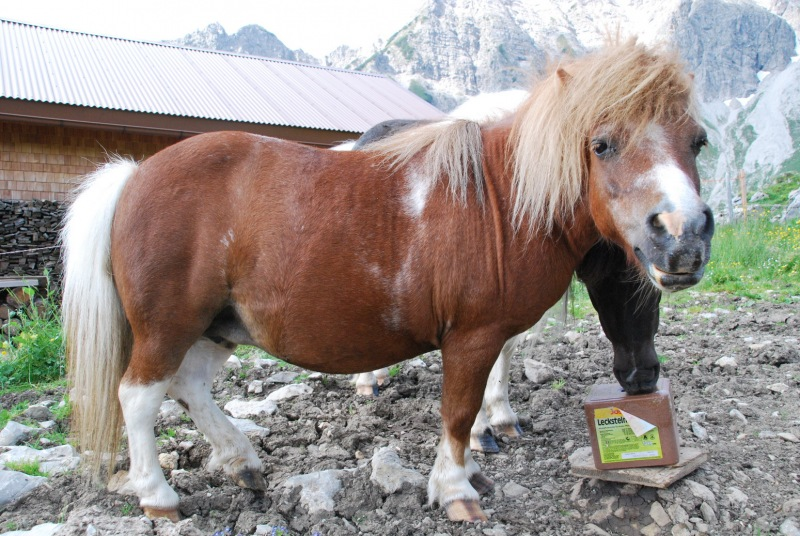 A pony for Suvi (Tramping Schrecksee, Austria)