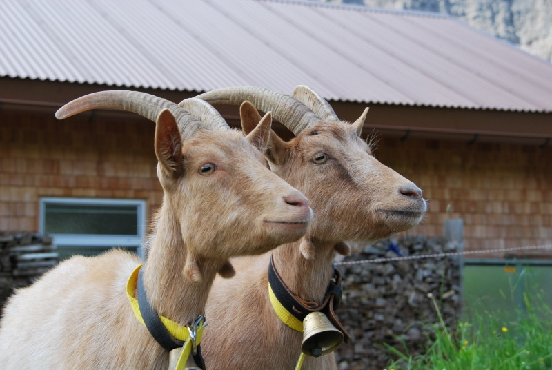 Two goats (Tramping Schrecksee, Austria)