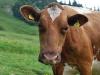 A cow (Tramping Schrecksee, Austria)