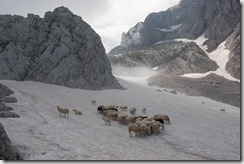 Funny sheep in the snow (Summer Holidays 2016)